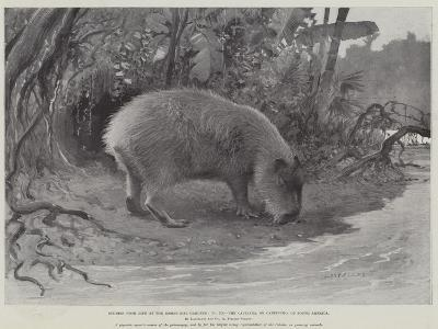 Studies from Life at the Zoological Gardens, the Capibara, or Carpincho, of South America--Giclee Print