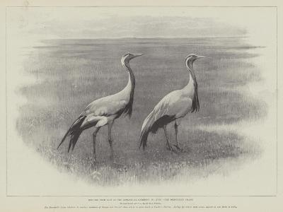 Studies from Life at the Zoological Gardens, the Demoiselle Crane--Giclee Print