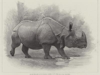 Studies from Life at the Zoological Gardens, the Great Indian Rhinoceros--Giclee Print
