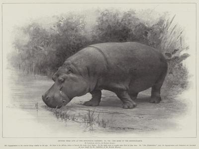 Studies from Life at the Zoological Gardens, the Home of the Hippopotamus