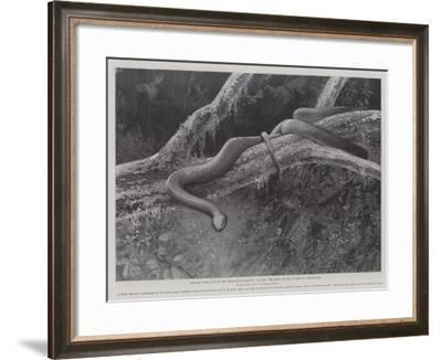 Studies from Life at the Zoological Gardens, the Home of the Plumbeous Tree-Snake--Framed Giclee Print