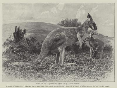 Studies from Life at the Zoological Gardens, the Red Kangaroo--Giclee Print