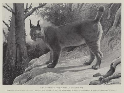 Studies from Life at the Zoological Gardens, Tibetan Lynx--Giclee Print