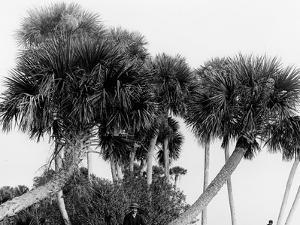 Studies in Palms, Sebastian Creek, Florida
