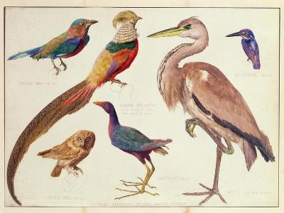 Studies of Birds from the Bootle Museum, Liverpool-Florence Emily Bark-Giclee Print