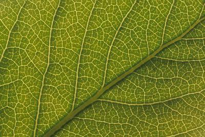 Studio Closeup Green Cottonwood Leaf Pattern-Design Pics Inc-Photographic Print