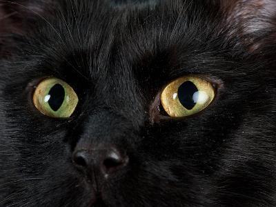 Studio Portrait of a Cat Named Amadeus Wolfgang Meowzart-Joel Sartore-Photographic Print
