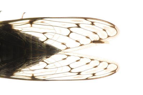 Studio Portrait of a Cicada, Tibicen Canicularis.-Joel Sartore-Photographic Print