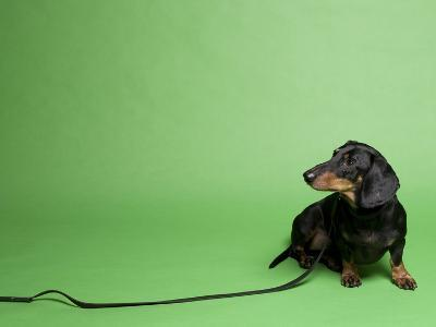Studio Portrait of a Dachshund with Leash, Against a Green Background-Rebecca Hale-Photographic Print