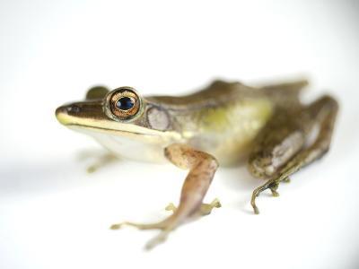Studio Portrait of a White-Lipped Frog, Hylarana Albolabris-Joel Sartore-Photographic Print