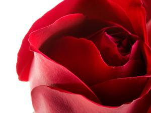 Studio Shot of Beautiful Blooming Rose with a Close-Up on the Petals