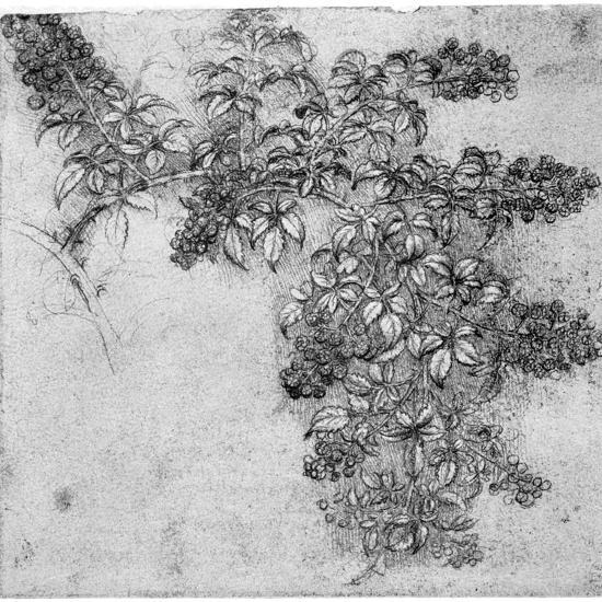 Study of a Blackberry Branch, Late 15th or Early 16th Century-Leonardo da Vinci-Giclee Print