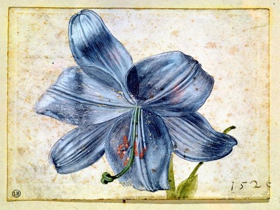 Study of a Lily, 1526-Albrecht D?rer-Giclee Print