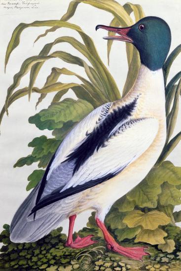 Study of a Mallard Duck, C.1790--Giclee Print