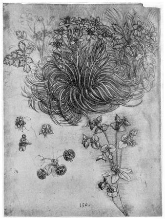 https://imgc.artprintimages.com/img/print/study-of-a-star-of-bethlehem-plant-1505-1507_u-l-pthqvy0.jpg?p=0