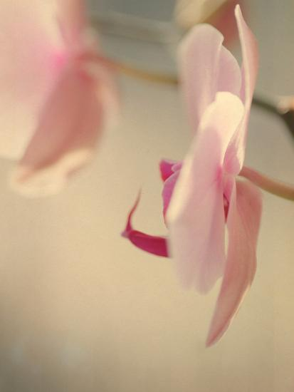 Study of an Orchid VII-Mia Friedrich-Photographic Print