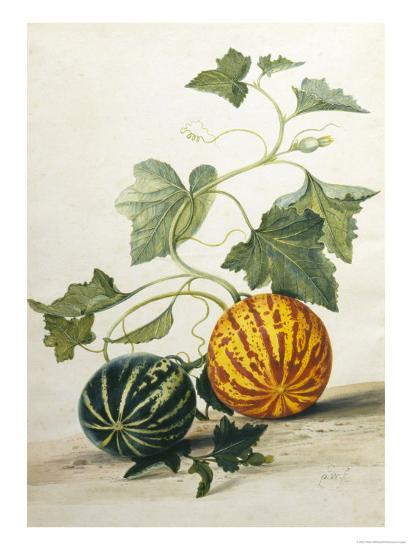 Study of Gourds-Pieter Withoos-Giclee Print