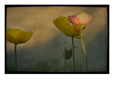 Study of Poppies-Mia Friedrich-Photographic Print