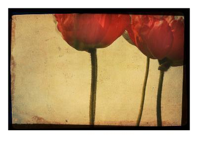 Study of Red Poppies-Mia Friedrich-Photographic Print