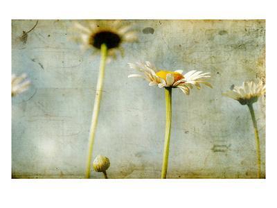 https://imgc.artprintimages.com/img/print/study-of-white-daisies_u-l-pyytmu0.jpg?p=0