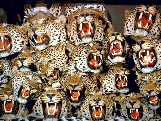 Stuffed Tiger Trophy Heads Of Big Game Hunters Are Piled
