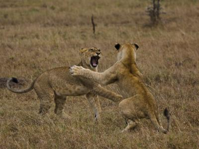 Sub Adult African Lions Fighting-Beverly Joubert-Photographic Print