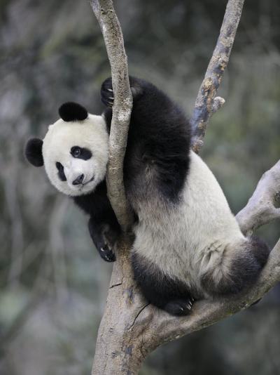 Subadult Giant Panda Climbing in a Tree Wolong Nature Reserve, China-Eric Baccega-Photographic Print
