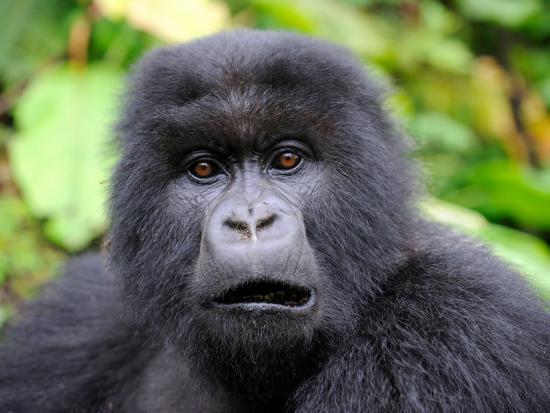 8ee918c9f0174 Subadult Mountain Gorilla Portrait with Mouth Open