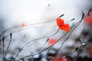 Abstract Poppies.Very Shallow DOF by Subbotina Anna
