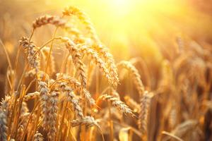 Golden Wheat Field. Ears of Wheat close Up. Beautiful Nature Sunset Landscape. Rural Scenery under by Subbotina Anna