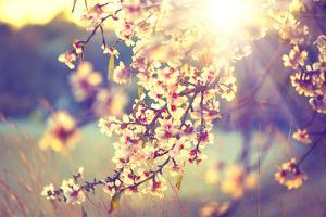 Spring Blossom Background. Beautiful Nature Scene with Blooming Tree and Sun Flare. Sunny Day. Spri by Subbotina Anna
