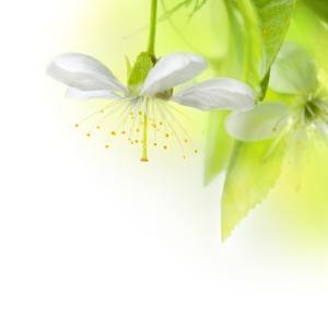 Spring Cherry Flowers by Subbotina Anna