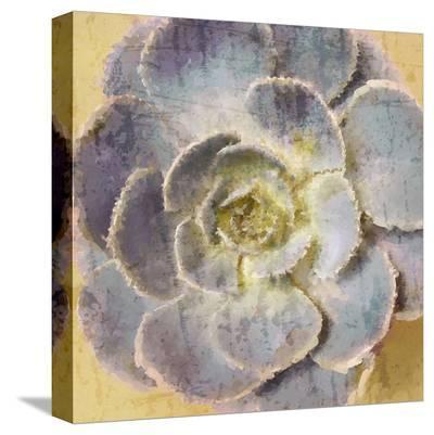 Succulent Aeonium--Stretched Canvas Print