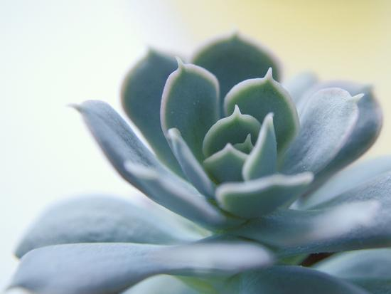 Succulent Spike-Karen Ussery-Premium Photographic Print