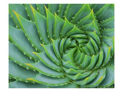 https://imgc.artprintimages.com/img/print/succulent-swirl_u-l-piga0z0.jpg?p=0