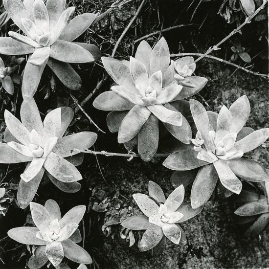 Succulents, Point Lobos, 1951-Brett Weston-Photographic Print