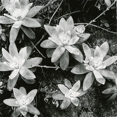 https://imgc.artprintimages.com/img/print/succulents-point-lobos-1951_u-l-q1g6t790.jpg?p=0