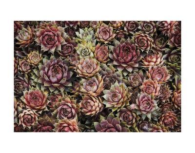 Succulents-David Lorenz Winston-Art Print