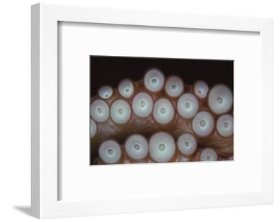 Suckers on tentacles of Octopus Vulgaris, 20th century-CM Dixon-Framed Photographic Print
