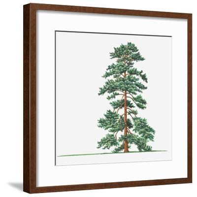 Illustration of Evergreen Pinus Wallichiana (Bhutan Pine, Himalayan Pine) Tree