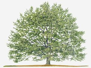 Illustration of Fagus Sylvatica, (European Beech or Common Beech) Deciduous Tree by Sue Oldfield