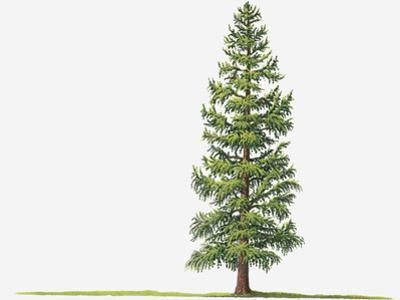 Illustration of Larix Laricina (Tamarack, Tamarack Larch) Deciduous Tree by Sue Oldfield