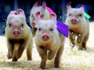 Sue Wee Pig Races