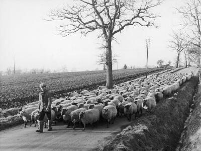 Suffolk Shepherd--Photographic Print