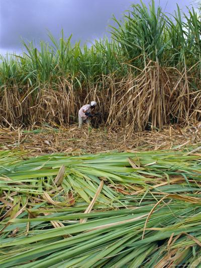 Sugar Cane Cutting by Hand, Reunion Island, Indian Ocean-Sylvain Grandadam-Photographic Print