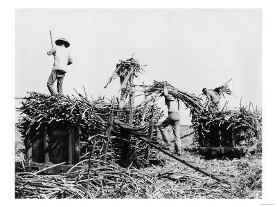 Sugar Cane Harvesting in Hawaii Photograph - Hawaii-Lantern Press-Art Print
