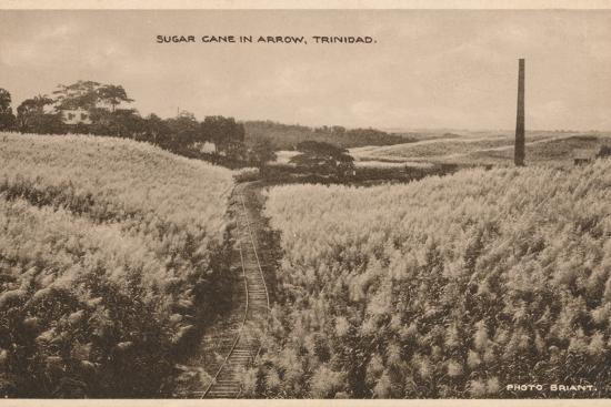 'Sugar Cane in Arrow Trinidad', c1900-Unknown-Photographic Print