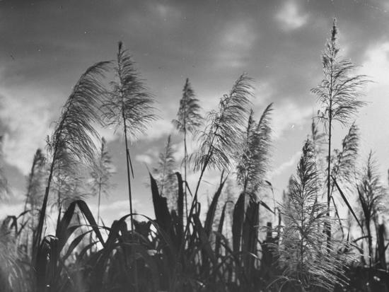 Sugar Cane Showing Tassels on the Canlubang Sugar Plantation--Photographic Print