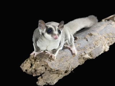 Sugar Glider, Petaurus Breviceps, a Marsupial Mammal from Australia-Joe McDonald-Photographic Print