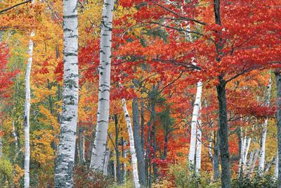 https://imgc.artprintimages.com/img/print/sugar-maple-acer-saccharum-and-white-birch-trees-betula-papyrifera-in-brilliant-autumn-hues_u-l-pncp9a0.jpg?p=0